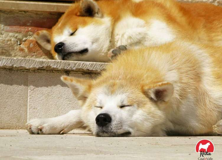 cuccioli Akita Inu pedigree enci