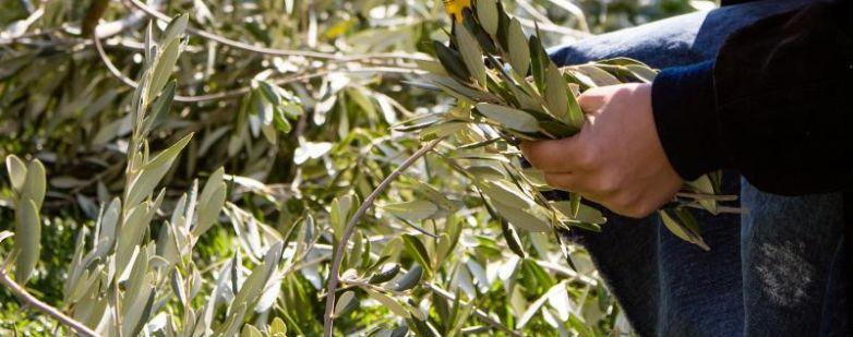 Potatura ulivo - Giardini d'autore