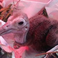 Il piccolo avvoltoio nato ad Oltremare